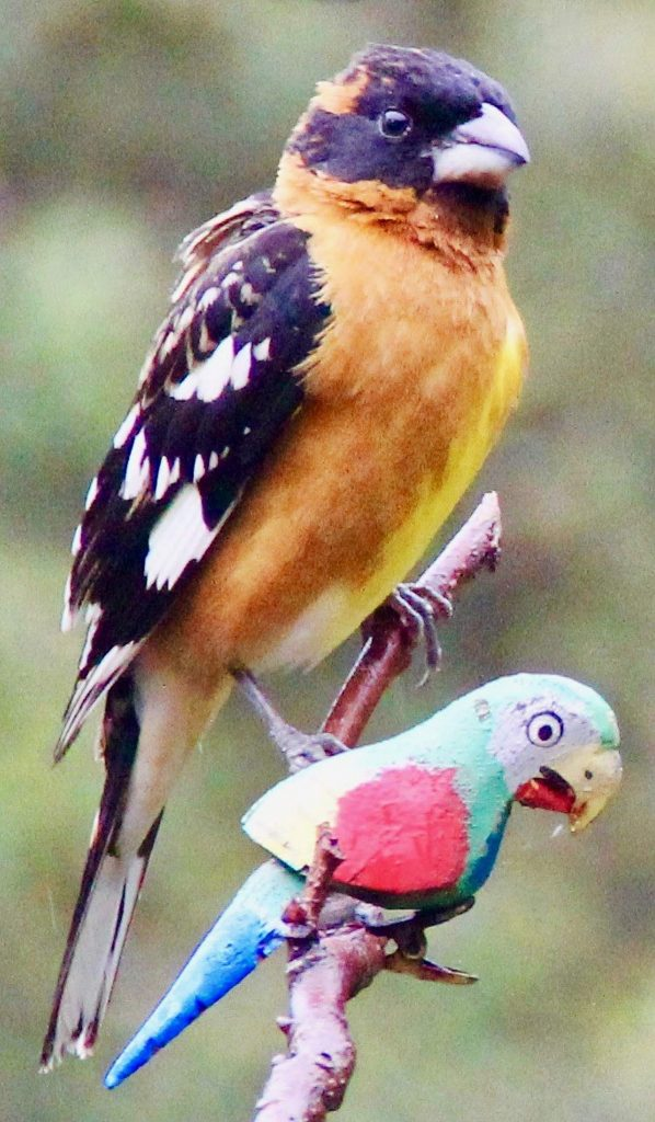 Black-headed grosbeak and friend.