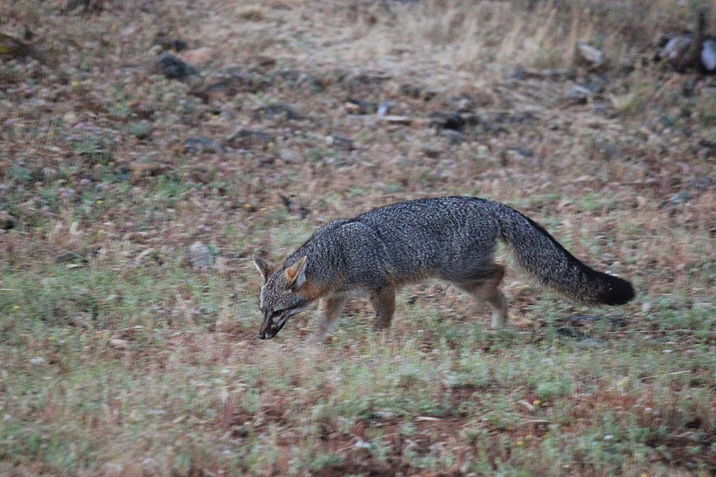 Fox stealing bird seed that was cast a few days ago. Spotted in the Slate Creek Road and Little Deer Creek Lane area.