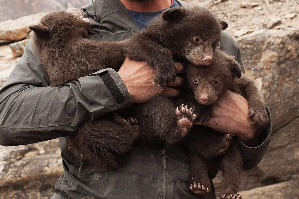 """""""Bears of Durango"""" (59 min) was a real crowd pleaser and one of the most talked about films at the 2020 festival. Dive headfirst into bear dens with biologists who have spent six years investigating why there have been increases in human-black bear conflicts."""