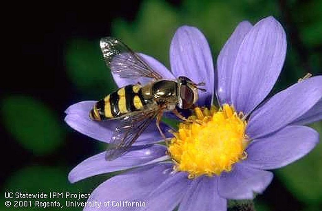 Hoverflies are in the category of predatory flies, in the family Syrphidae. These little flies, although looking much like a wasp, are not wasps – bees and wasps have four wings, while hoverflies have two.