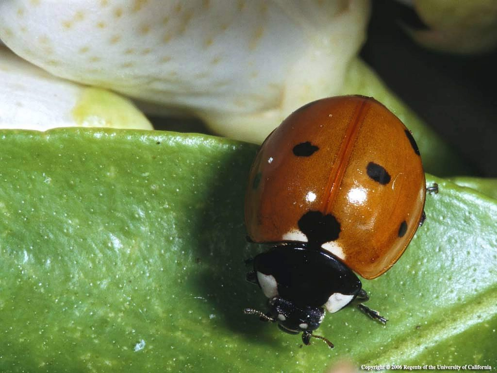 Aphid-eating lady bugs, or lady beetles (in the family Coccinellidae) are some of the more well-known beneficials in the garden.