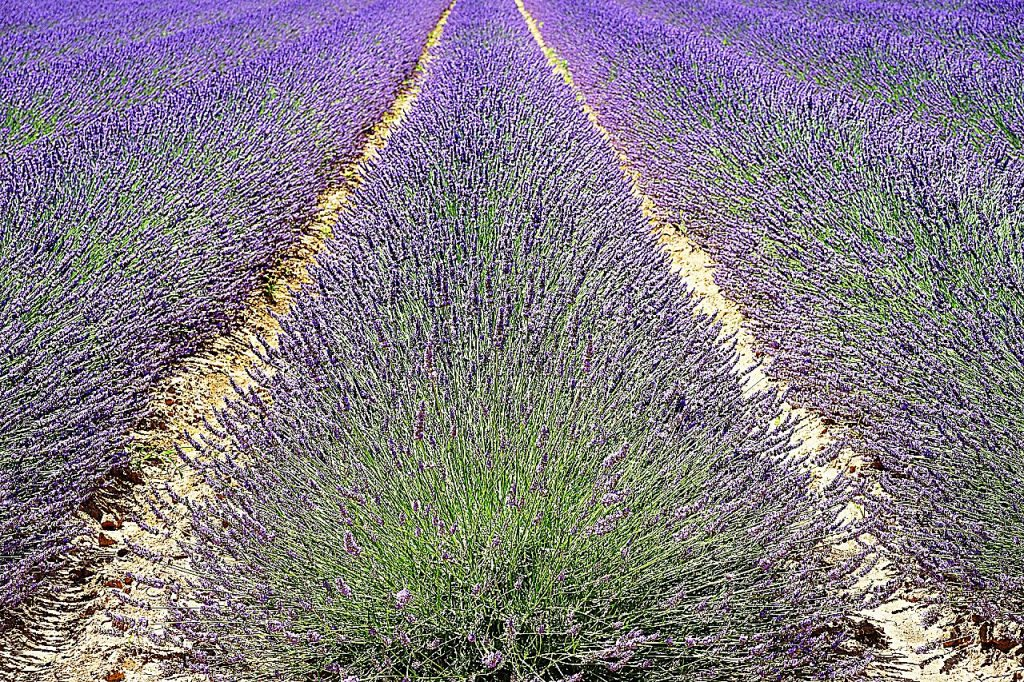 Whether it's the purple flowers, the fragrance, or the images of a lavender harvest on a French country farm, lavender has an allure.