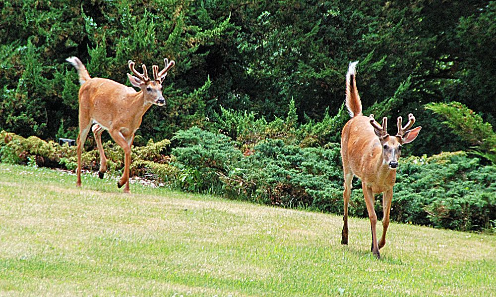 Deer can wreak havoc on landscapes and research has proven that odor-based repellents are more effective than other repellents at keeping deer and other critters from eating your plants.