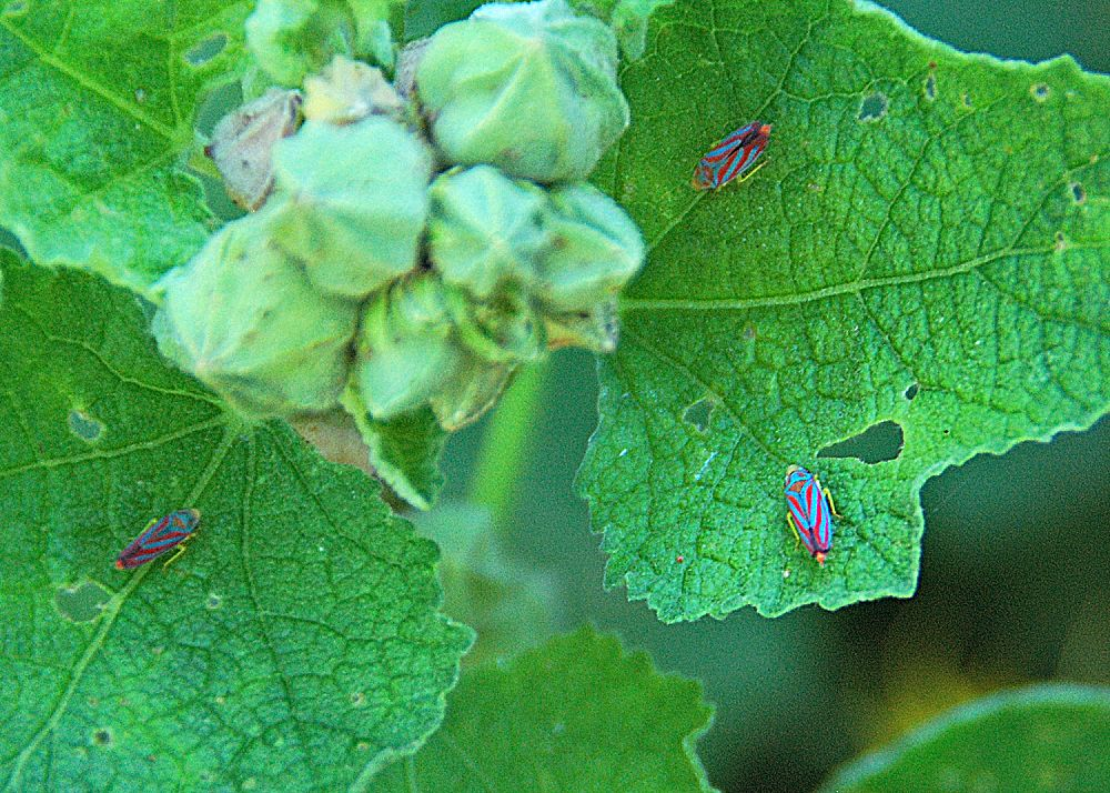 Lightweight horticulture oil can be applied to garden plants during the growing season to manage insects like these leafhoppers.