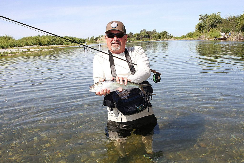 Bill McCrea with nice shad from the Lower Yuba this week.