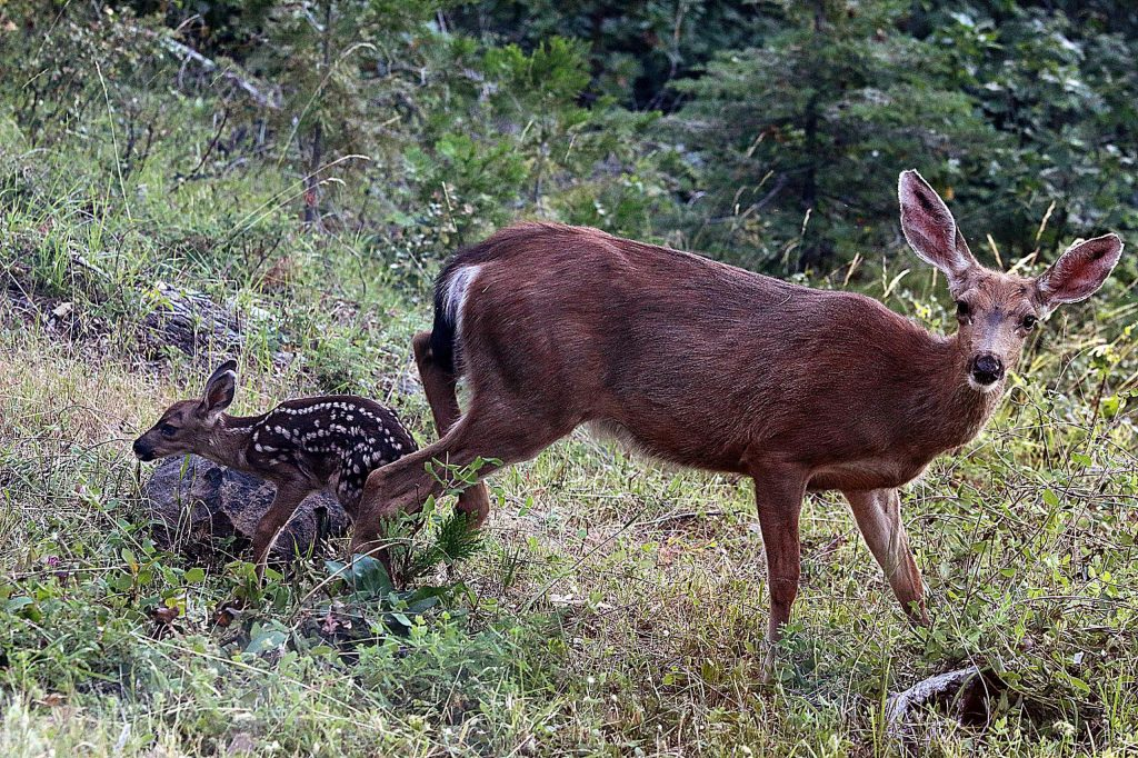 Doe and one-day-old fawn.