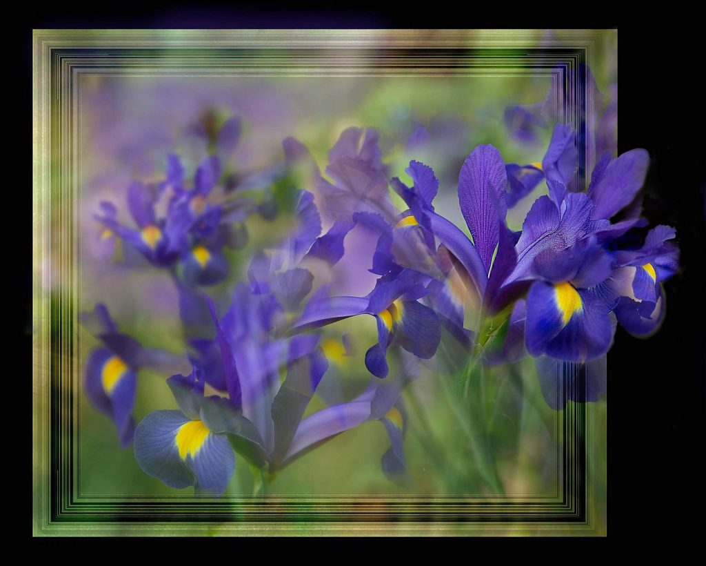 "In the photo ""Wild Iris,"" the ""wild"" describes the iris leaping out of a picture frame."