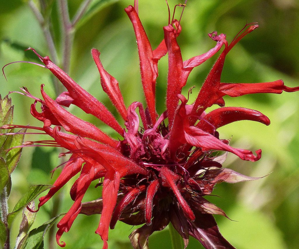 Bee balm is a wonderful cutting flower, making it fun to use for Fourth of July bouquets. It's easy to grow and when established produces many flowers.