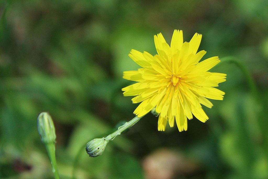 Currently a number of fields and roadsides are a blaze with yellow. Many of these yellow flowers look like common dandelions (Taraxacum officinale), but may be the smaller common catsear (Hypochaeris radicata). Known also as false dandelion, hairy cat's-ear, or flatweed, common catsear blooms from May to November with small yellow flowers that are often mis-identified as dandelions.