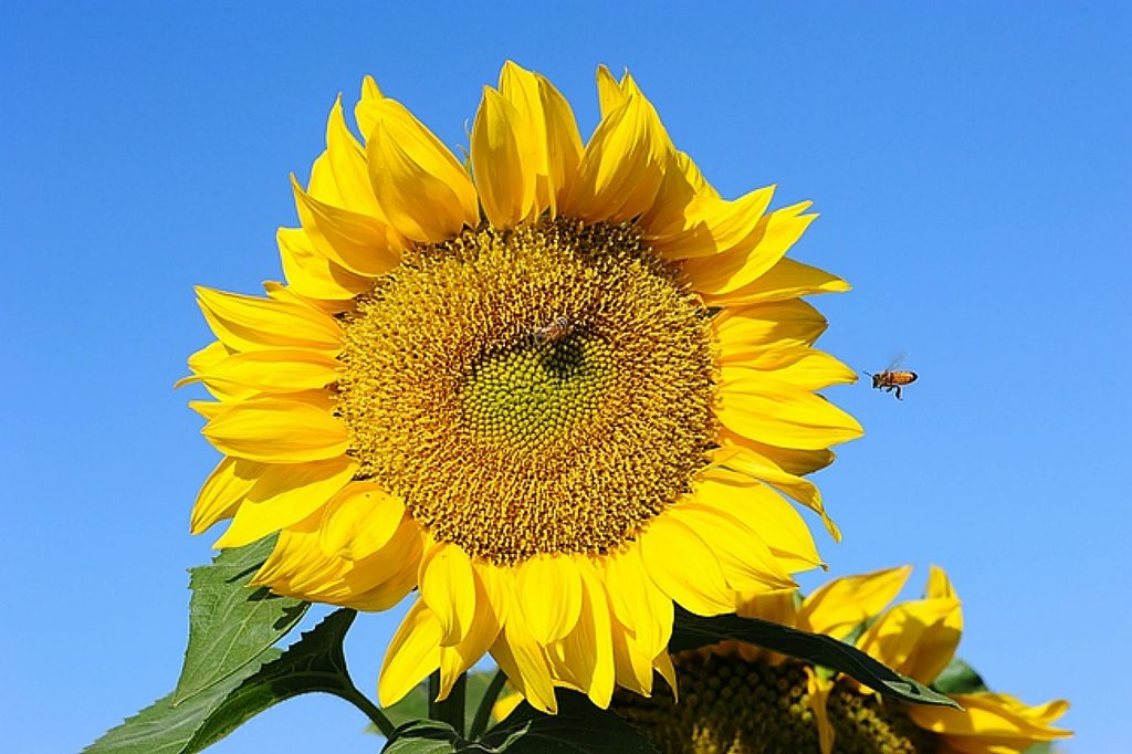 Attractive to birds and pollinators, sunflowers grow in many sizes, in a variety of warm summer colors – and they follow the sun. Studies by UC Davis plant biologists demonstrated that sunflowers have a circadian rhythm.