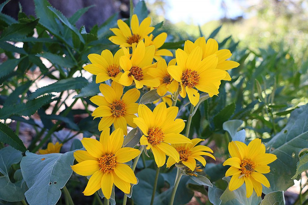In the spring the wildflowers, including Mule's Ear, Paintbrush and many others grow lush close to the trail.