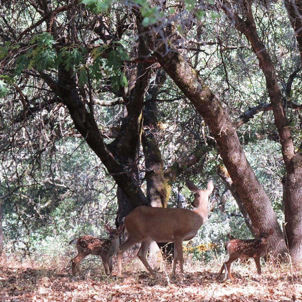 Mother deer and her two babies here in our back yard at Lake of the Pines.