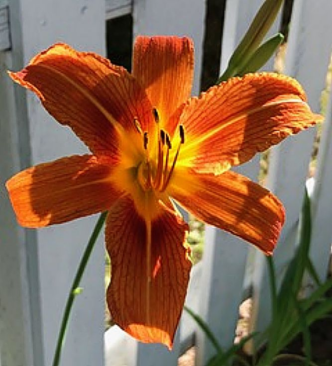 Bright Day Lily.