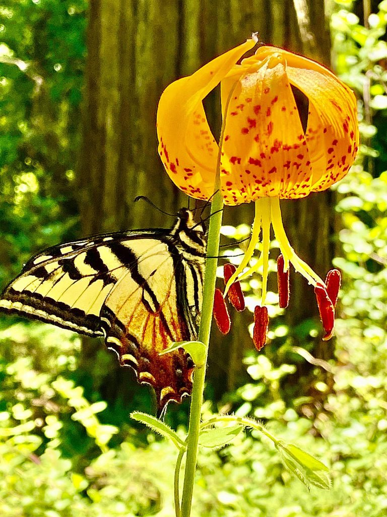 A Western Tiger Swallowtail butterfly enjoying the many blooms of the Humboldt Lily in the Empire Mine Trails.
