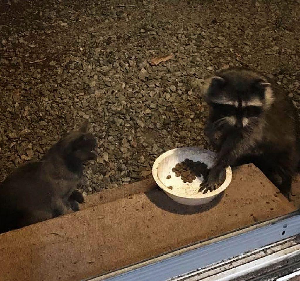 Feral cats sharing their meal with out local raccoon. This is a nightly event on our back steps in Nevada City.