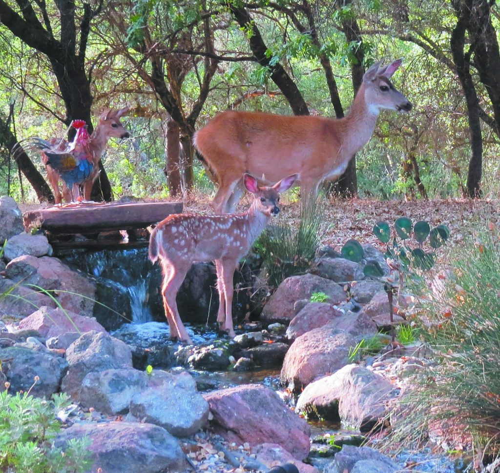 Mother and two fawns in our waterfall at Lake of the Pines.