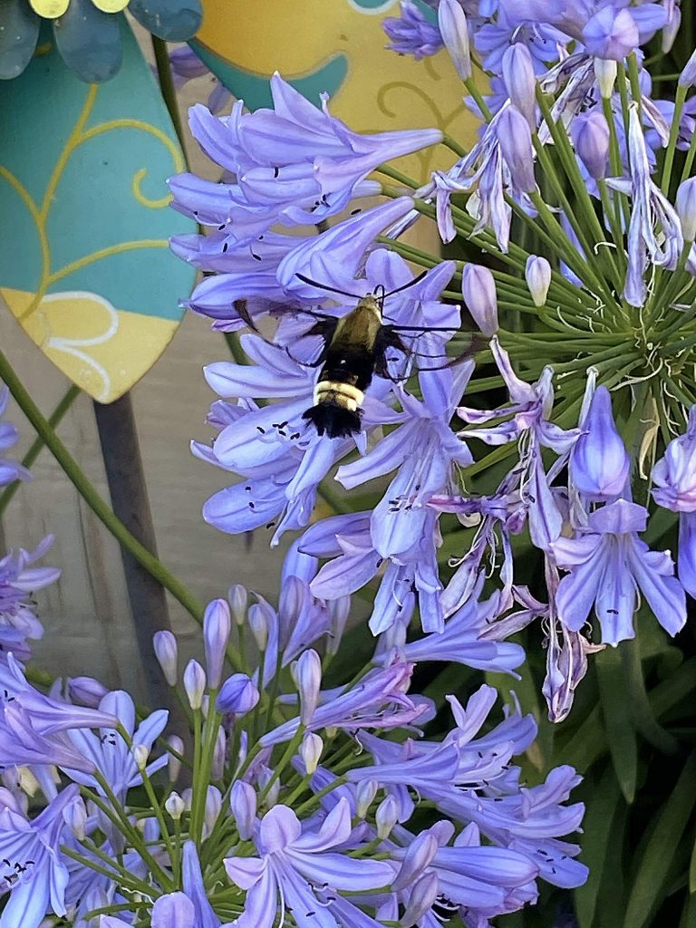 Don't worry, bee happy! Bumble Bee enjoying the Agapanthus flowers at Cherry Creek Acres.