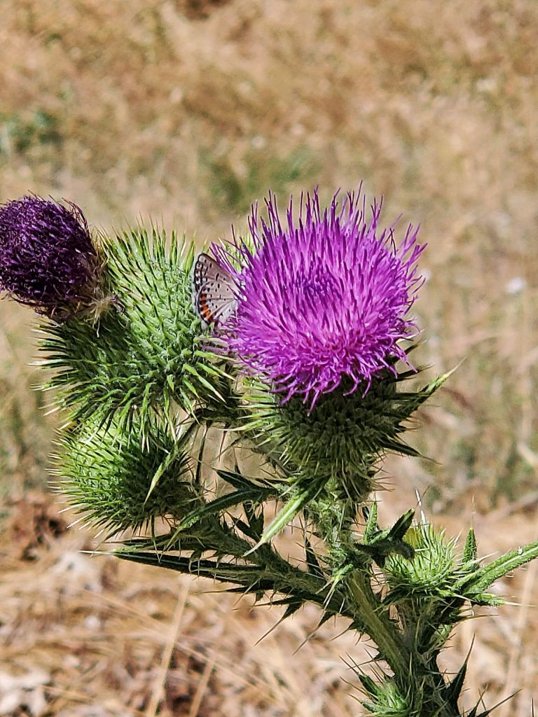 Cement Hill Summer Thistle.