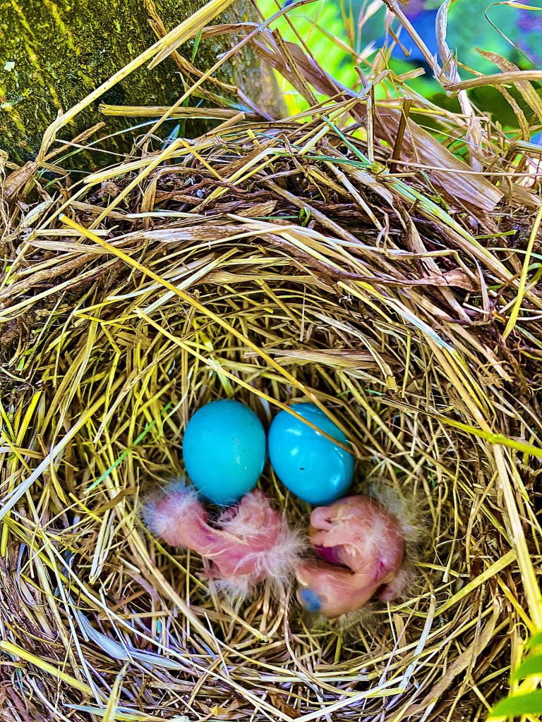 Two baby Robins fresh out of their egg shells!