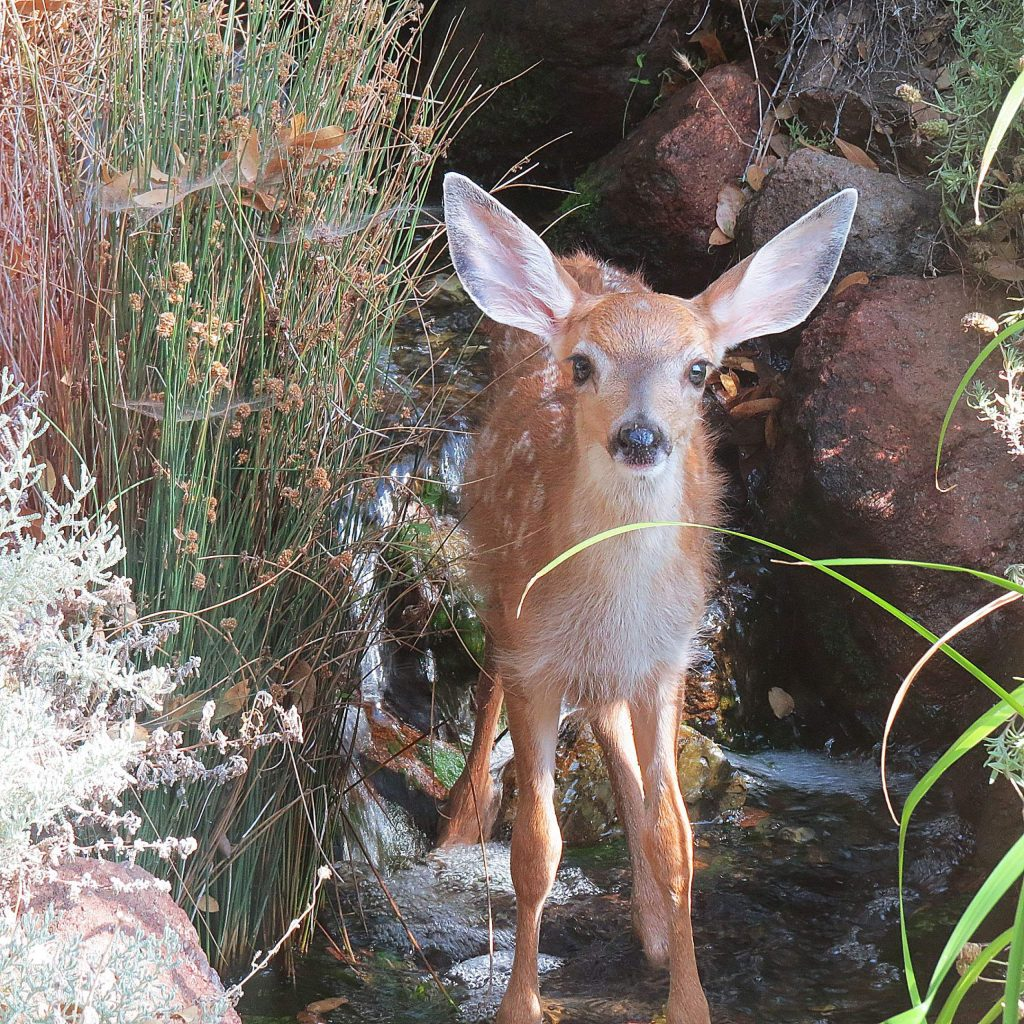 Fawn in waterfall in Lake of the Pines.