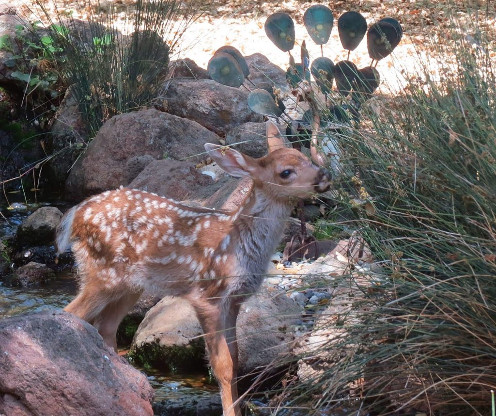 Here's one of the baby deers in our back yard waterfall here at Lake of the Pines.