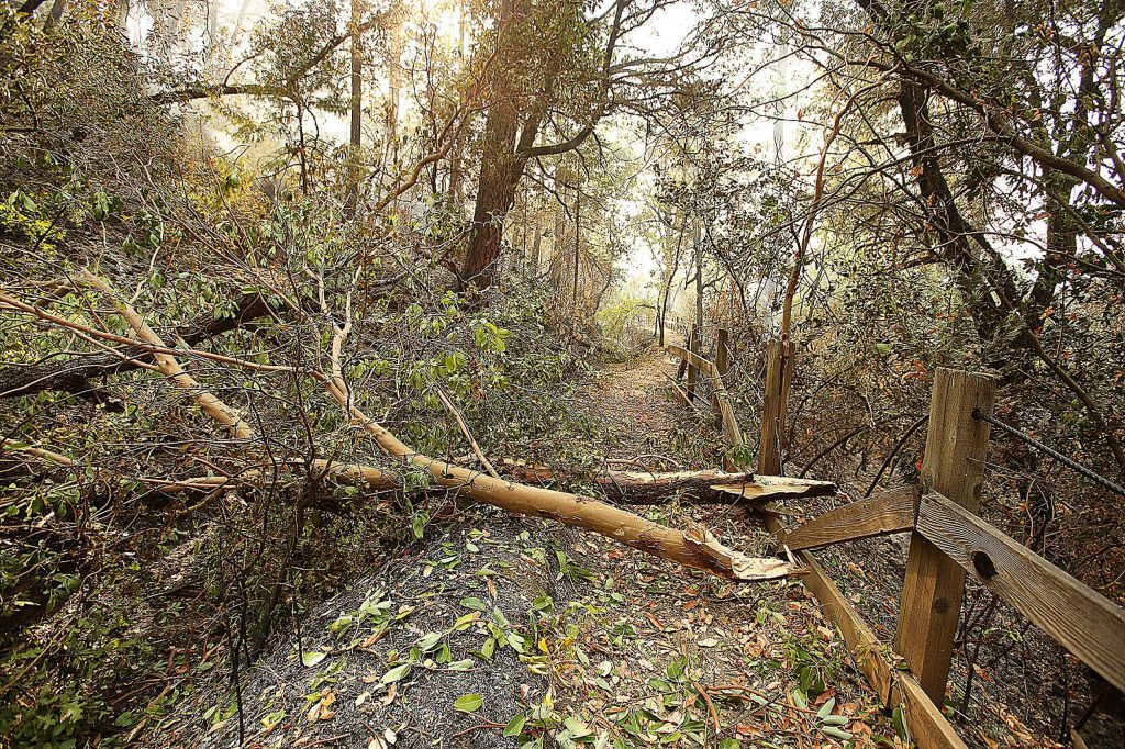 Limbs from a Madrone impede the Independence Trail.
