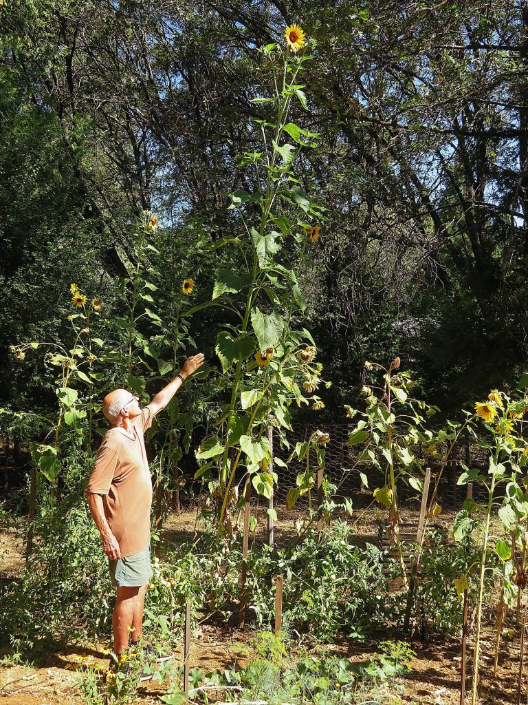 A14'6 tall sunflower plant growing in my garden in Grass Valley.