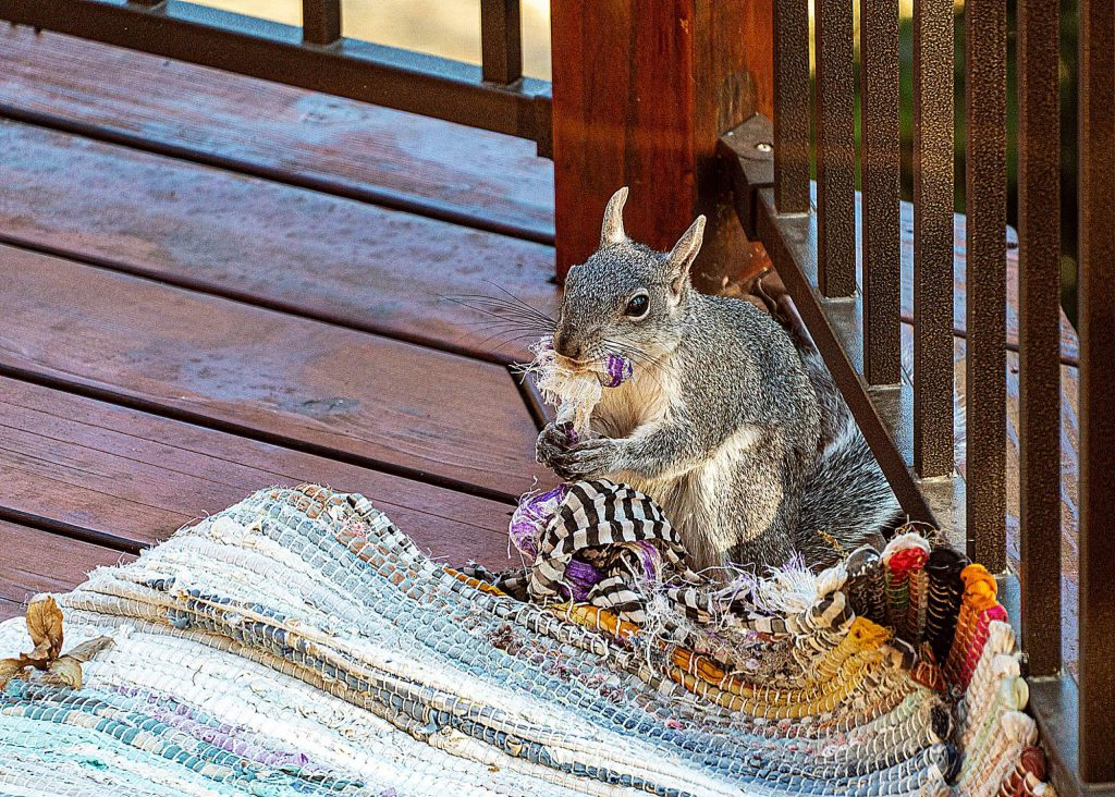 Squirrel prefers our deck rug to peanuts.
