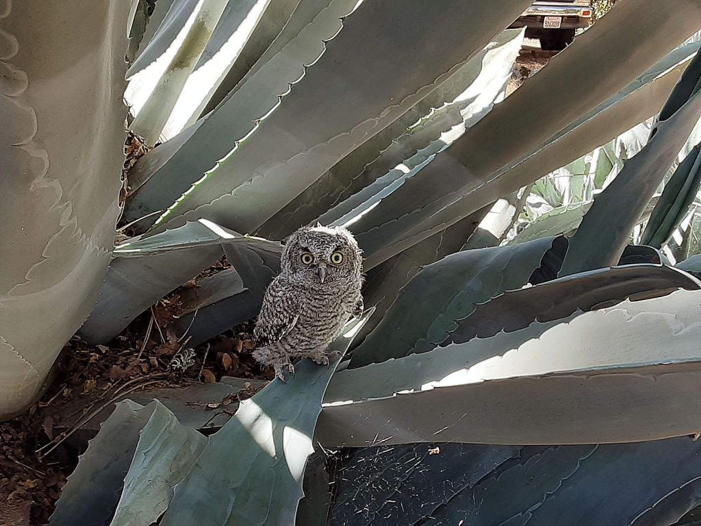 From my deck in Lake Wildwood, I spied this little owl in my century plant. He let me get real close to him.