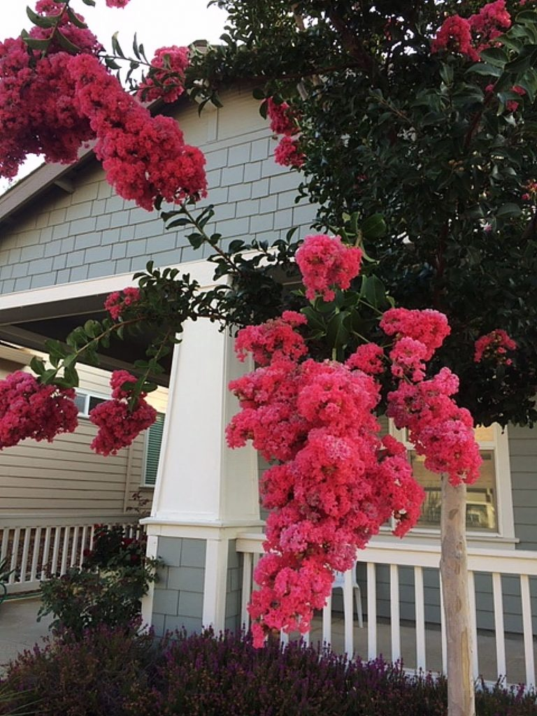 Eye popping bright pink Crepe Myrtles show off their blooms in Eskaton Village.