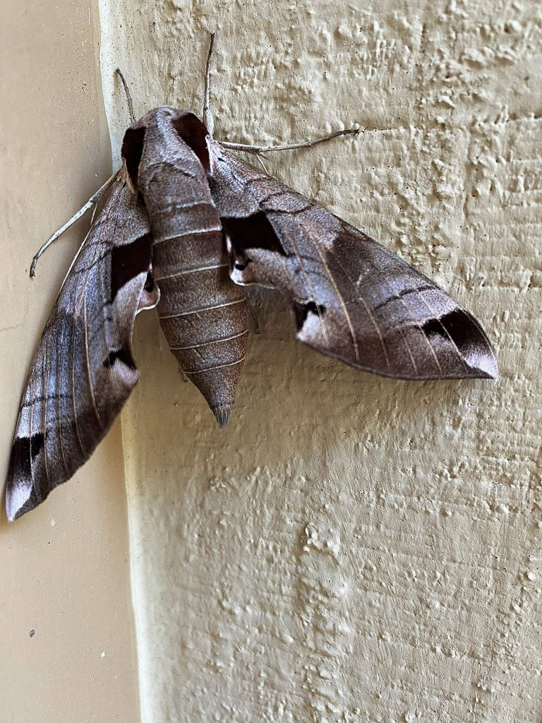 Is it Mothra? No, it is only a beautiful moth called Eumorpha achemon (Achemon Sphinx Moth).