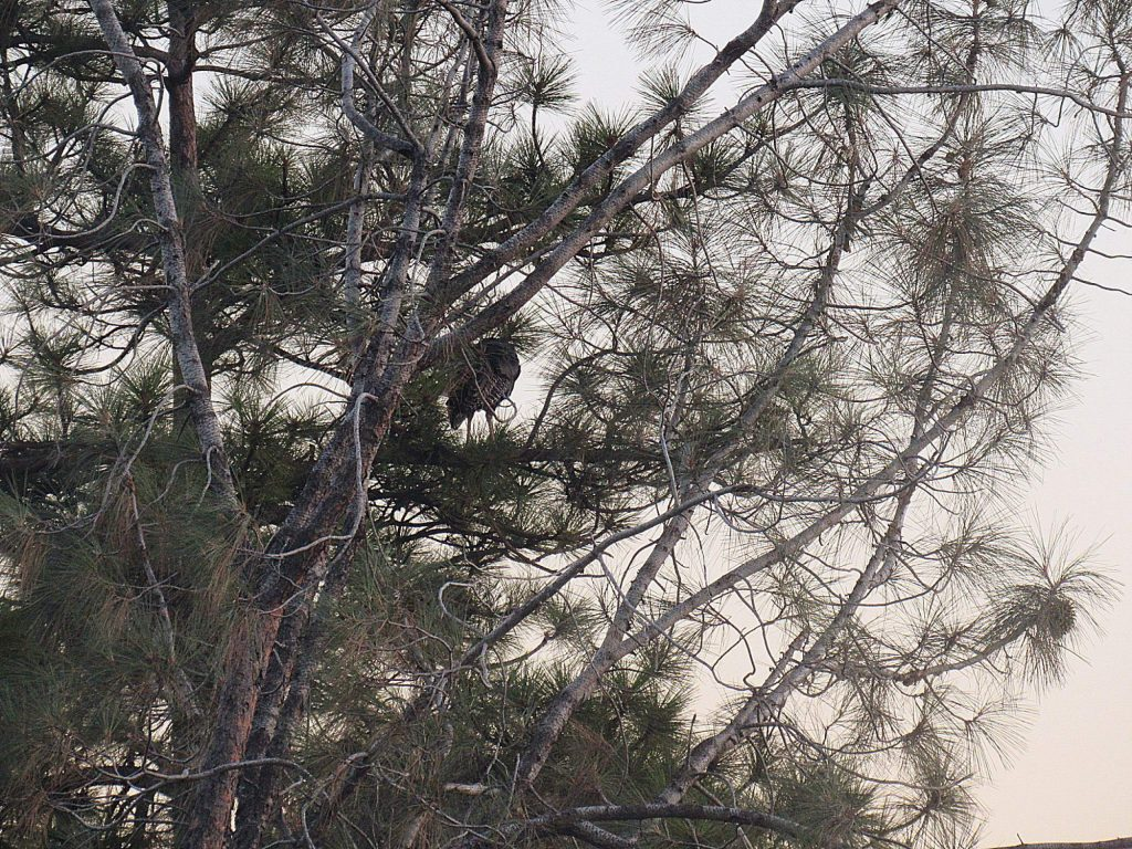 We watch as this turkey flys into this 60 ft. pine tree each evening.