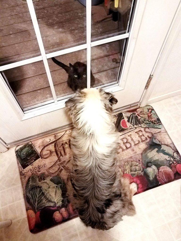 HanaLei, the miniature Aussie, meets Baby Girl, the feral cat.