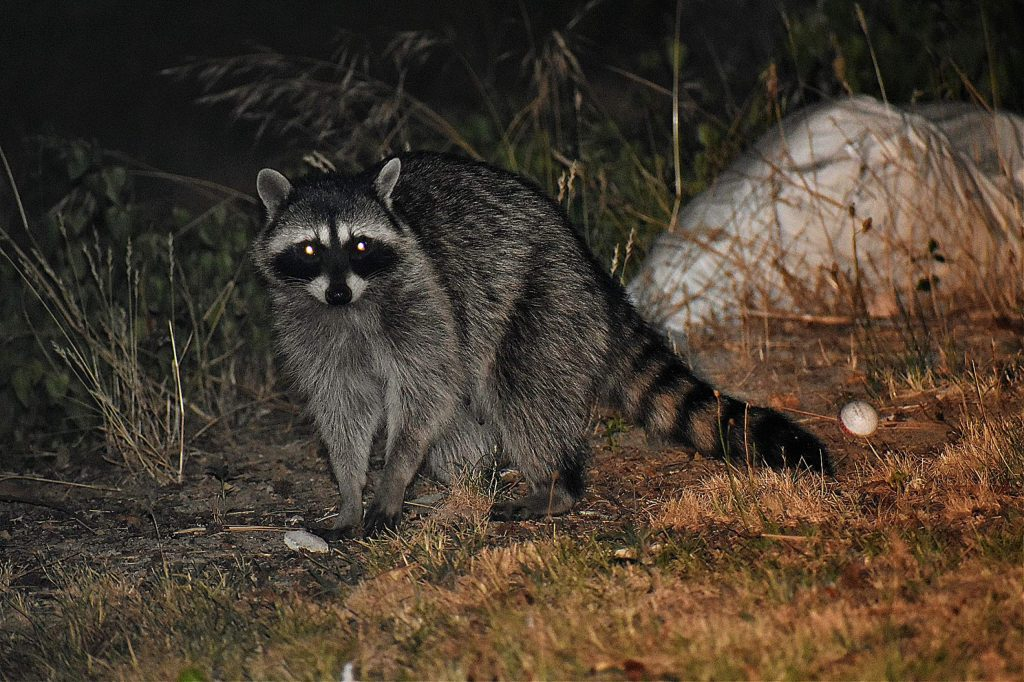 Racoon party on Greenhorn Road.