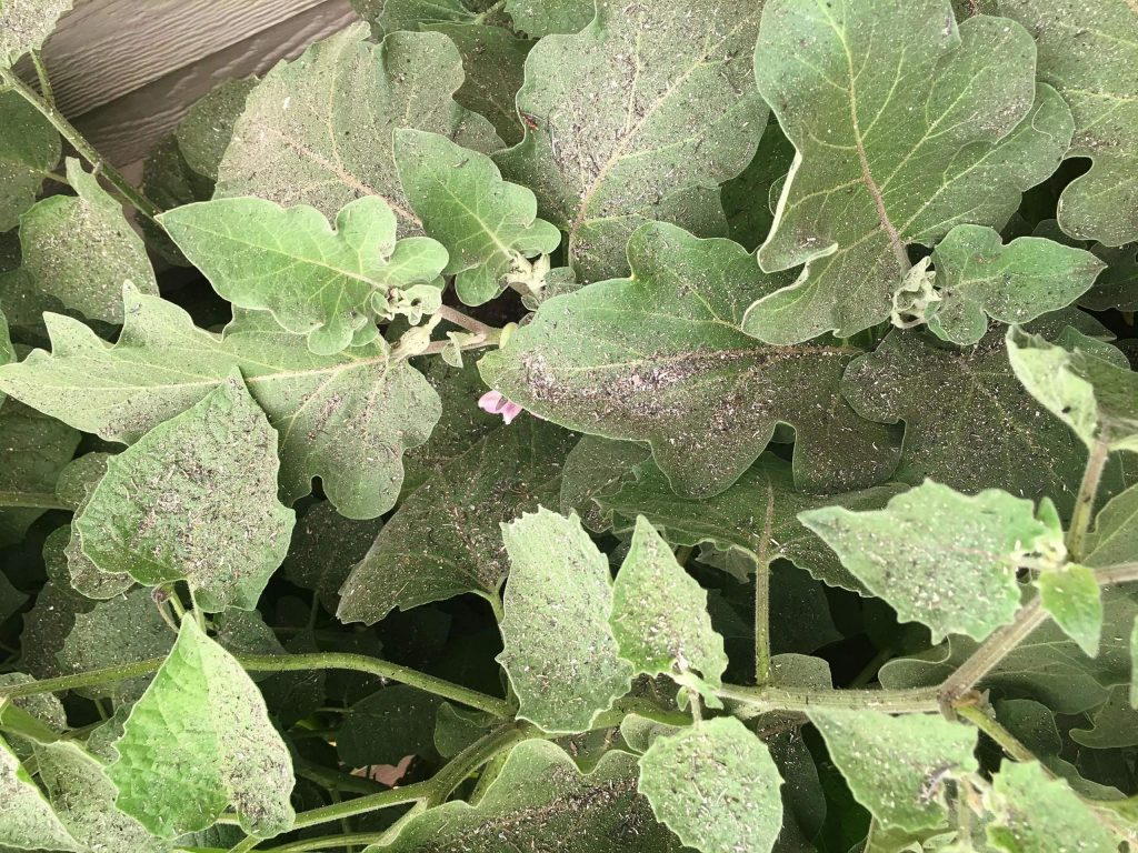 Ash covers growing vegetable leaves. When there is smoke in the air it may be a good idea to stay inside, and be sure to wash the ash and soot off the produce before bringing it into the house and wash again before preparing it.