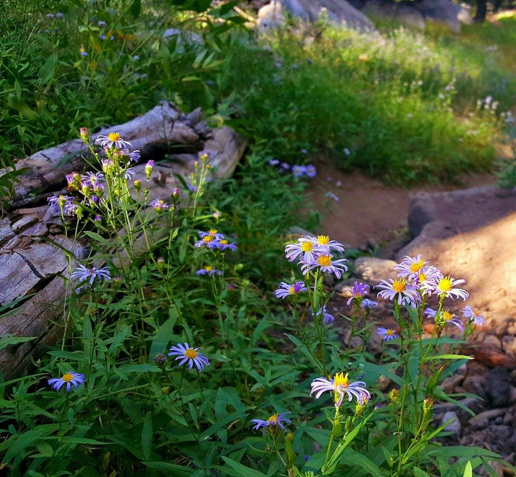 Flowers bloom along the Emigrant Lake Trail.
