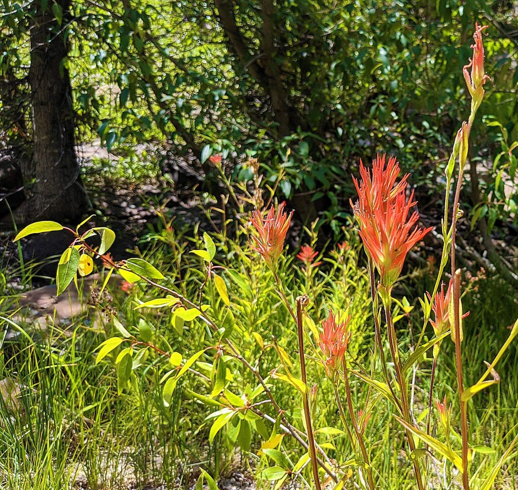 As heat, wind and lack of precipitation dry out lower elevation trails, the flowers still bloom in higher elevations around Tahoe.