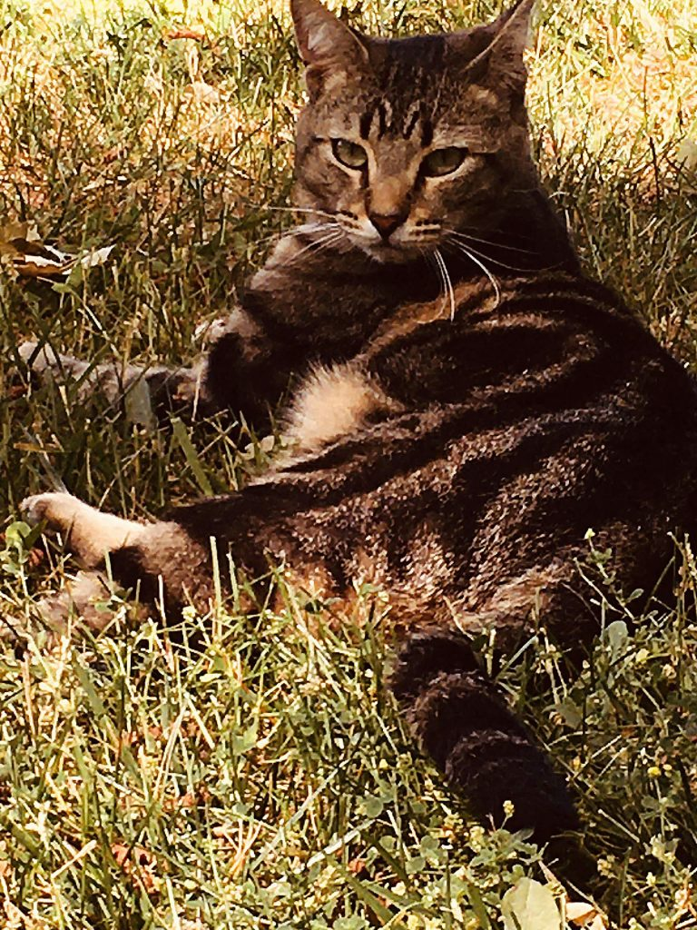 Our beloved cat, Leo, is missing from the Round Mountain Ranch Road area, off of Lake Vera Road. He is a 2 year old Tabby-- Black, brown and tan markings. Last seen September 7 wearing an orange collar with a bell. If found, please call 530-210-0275.