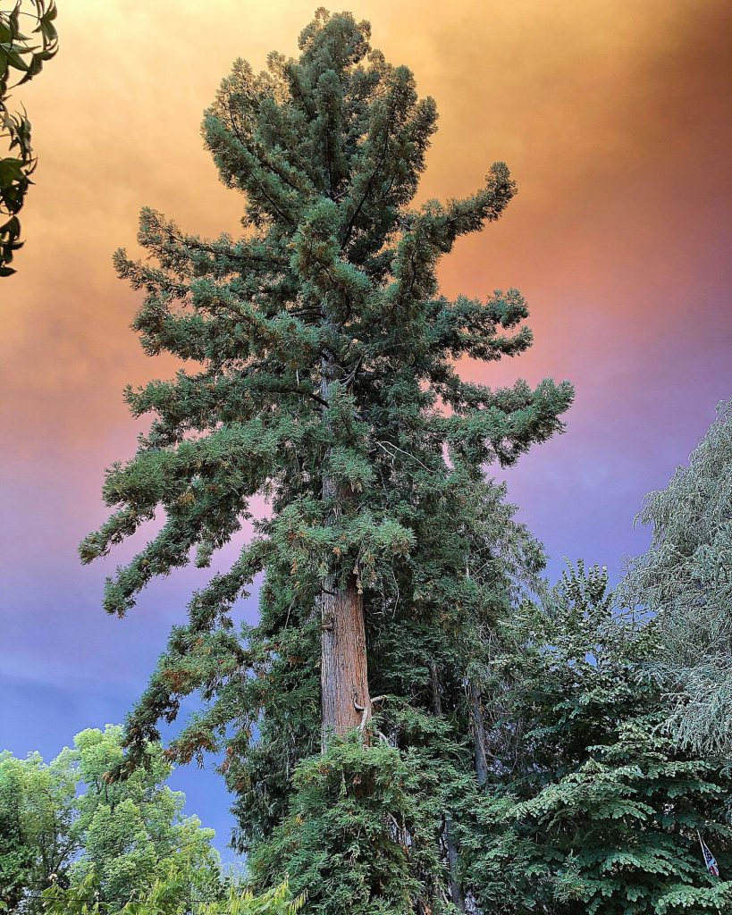 Smoky skies over downtown Nevada City's Giant Redwood on Broad Street Tuesday late afternoon!