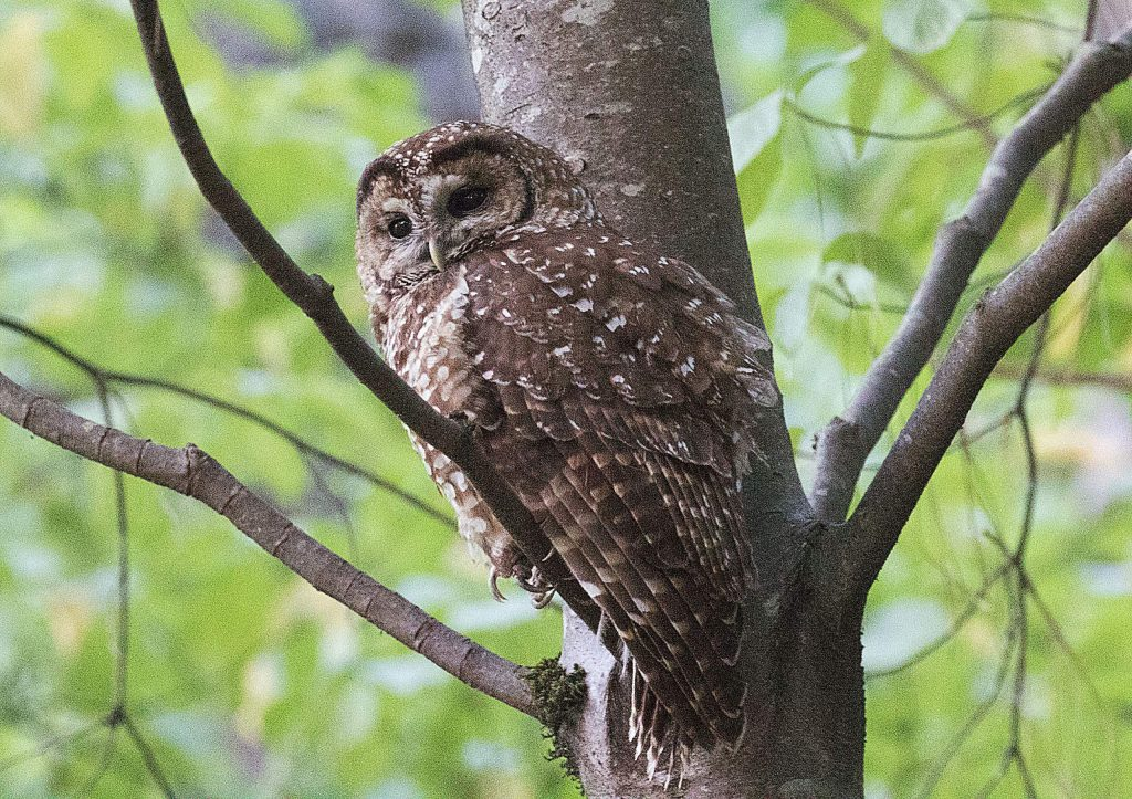 California Spotted Owl spotted on Banner Mountain.