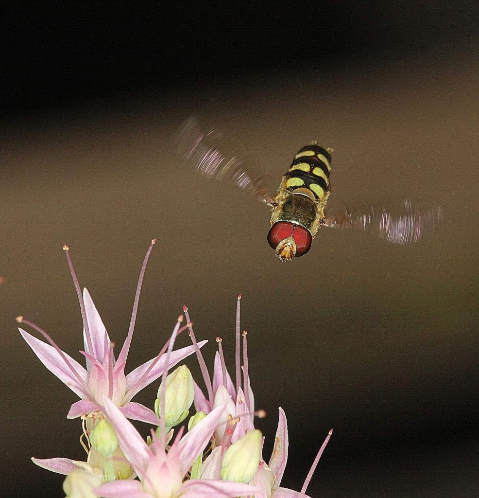 This morning I saw this hoverfly working around some flowers on my deck and couldn't resist trying to get a couple shots of it doing its thing. Usually these are abundant in the springtime but this one was out and about right at the start of autumn.