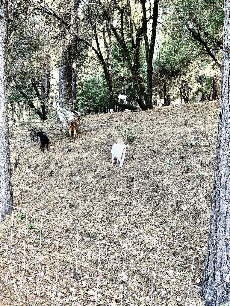 My neighbor hires goats to clear his property.