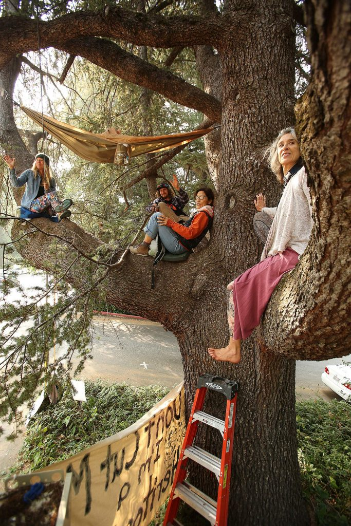 Tree sitters have been taking shifts in sitting in this Blue Atlas Cedar at the corner of Bennett and Broad streets in Nevada City.