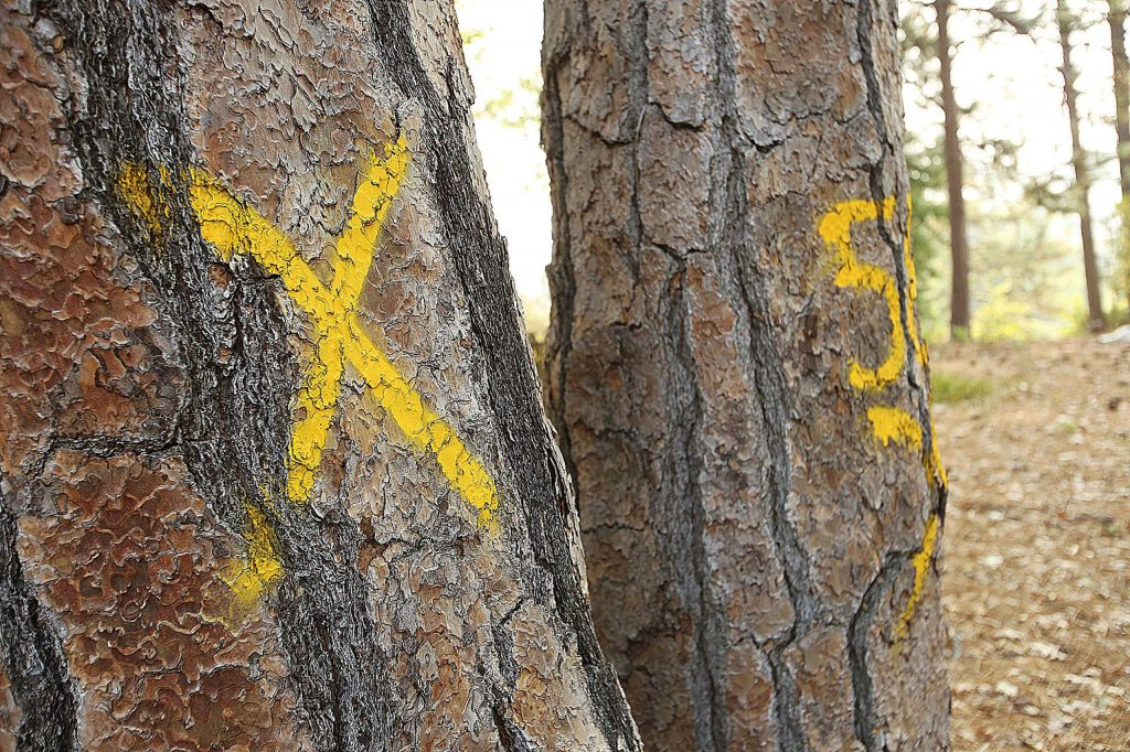 Trees bearing the mark of PG&E will be cut down to mitigate the potential hazard to nearby power lines in Nevada City's Pioneer Cemetery. Some of the trees have begun to grow into nearby grave sites.