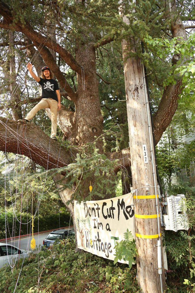Graeme Pitts stands in an 80-foot tall blue Atlas cedar tree slated to be cut by PG&E contractors this week in Nevada City. The tree is believed to be over 150 years old, and is said to have been planted by one of the city's first pioneers.
