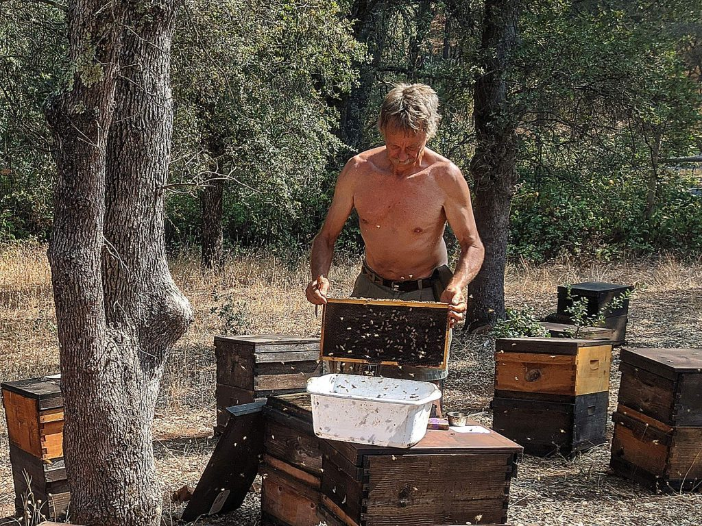Randy Oliver, who hasn't worn a bee suit in years, shakes bees into a tub in order to determine whether the colony is naturally resistant to the varroa mite. This allows him to selectively breed for mite-resistant bee stock.