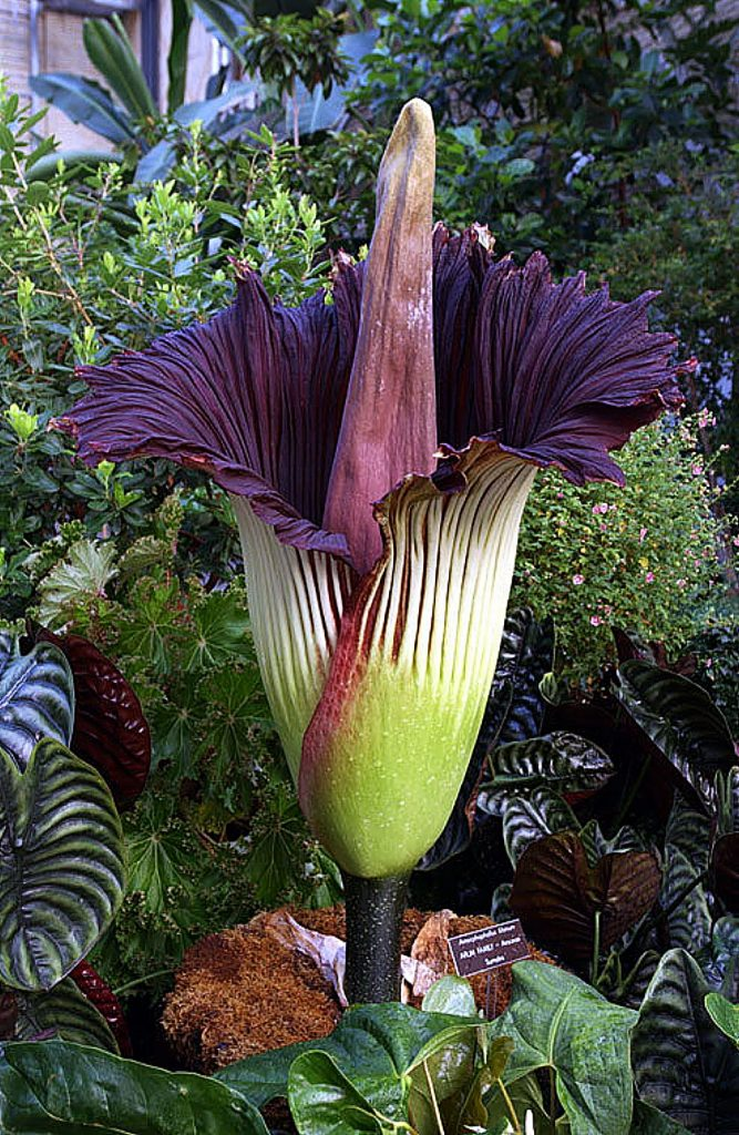 Amorphophallus titanium, also known as the corpse flower or stinky plant, is a tropical plant which grows naturally near rain forests.