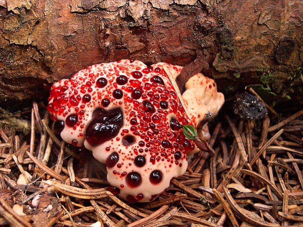 Hydellumpeckii, also known as bleeding tooth fungus, is a mushroom that oozes thick red fluid through pores on the outer surface of the cap, giving the appearance of blood seeping through its pores.