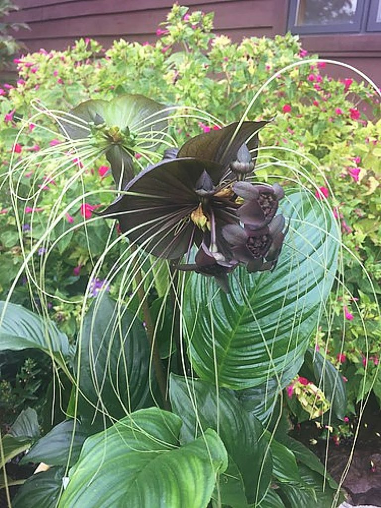 The very stunning, but slightly startling, black bat flowers (Tacca chantrieri) are from sub-tropical regions and grow from tubers somewhat like yams.