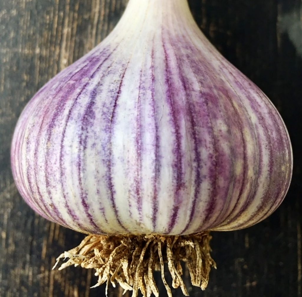 Garlic — also known as the stinking rose, is easy to grow and can be started now for late summer harvest.